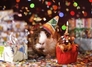 Świnka morska w czapeczce urodzinowej z prezentami i babeczką ze świeczką.